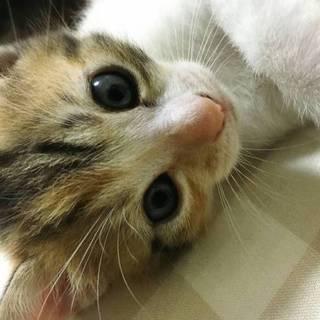 【10/22東日本橋】三毛猫♡みこちゃん
