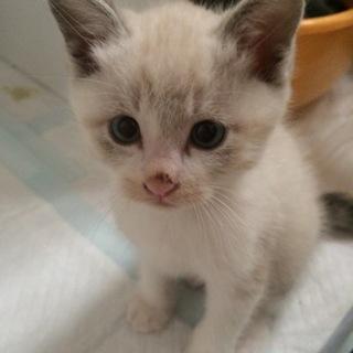 シャム系子猫①
