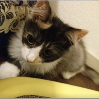 美猫の長毛の三毛猫女の子 5ヶ月