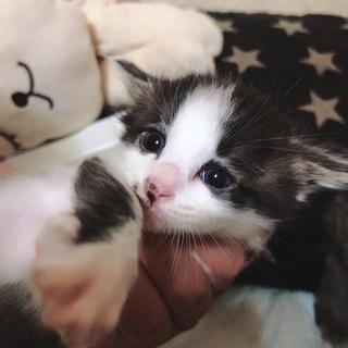 元気一杯!ハチワレ子猫ちゃん♪