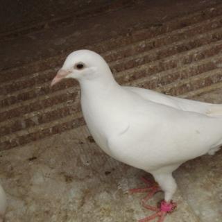 白鳩(2羽)の里親さん募集!