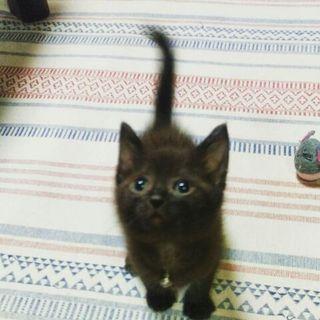 黒猫 (男の子) 約3か月弱の子猫 里親募集!!
