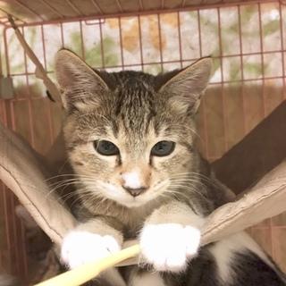 足のハート柄を探して!ちょっと寄り目のキジ猫3ヶ月
