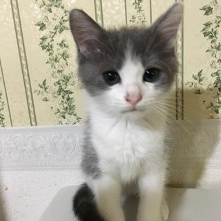 グレー×白のハチワレ保護猫ちゃん