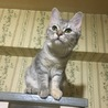 縞グレーの保護猫ちゃん