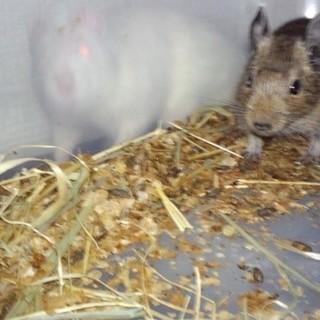 デグーマウスの子供、雄1匹里親募集です。