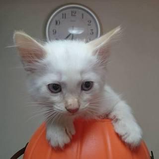 ふわふわ仔猫の里親様募集します