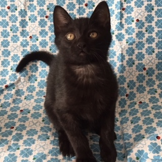 明るく元気な黒猫男子です!