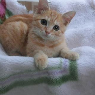 子猫 茶トラ メス3月