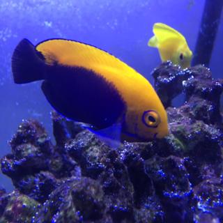 [海水魚]ヤッコ、スズメダイの里親さん募集