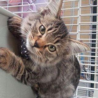 超長毛のキジトラの子猫♂
