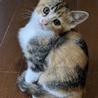 可愛い三毛の仔猫の里親さん募集します。