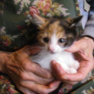 可愛い三毛の子猫です。