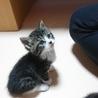 キジ白  子猫 ハローちゃん サムネイル3