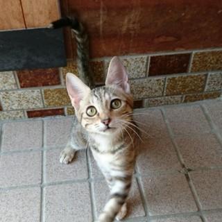 ワンちゃんとも仲良くできるベンガル風柄子猫