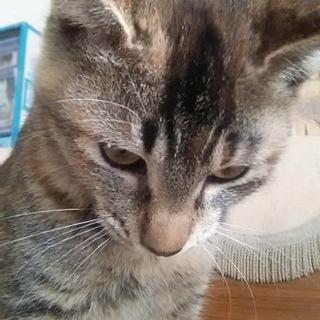 生後6ヶ月程度メス子猫雑種キジトラサビ柄混合