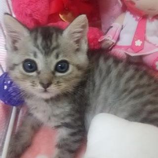 生後一ヶ月半位の可愛らしい子猫ちゃんのご家族様募集