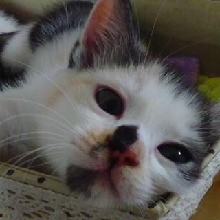 愛嬌のある三毛の子猫です