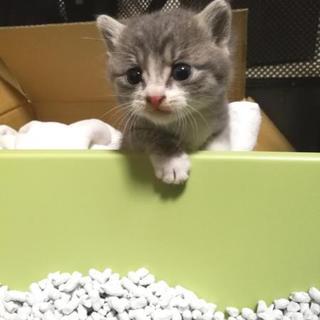 現在交渉中 グレーのトラ柄子猫