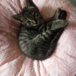 超かわいいキジトラの子猫♀