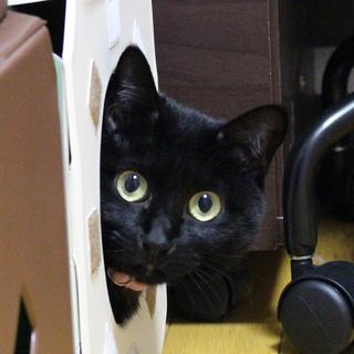 エイズキャリアの黒猫 2歳 1匹飼い希望