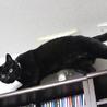エイズキャリアの黒猫 2歳 1匹飼い希望 サムネイル2