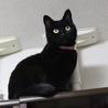 エイズキャリアの黒猫 2歳 1匹飼い希望 サムネイル3