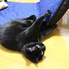エイズキャリアの黒猫 2歳 1匹飼い希望 サムネイル4