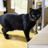 エイズキャリアの黒猫 2歳 1匹飼い希望 サムネイル5