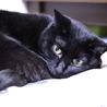 エイズキャリアの黒猫 2歳 1匹飼い希望 サムネイル6
