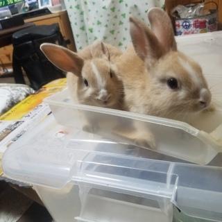 ミニウサギの子供。