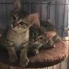 元気で可愛いキジトラの子猫兄弟