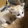 キレイな目の仔猫です