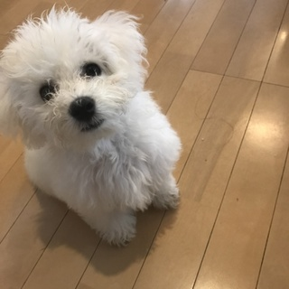 ビジョン・フリーゼの幼犬です。
