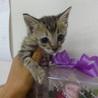 仔猫1か月半メス