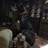 賢い大型犬です   交渉中です サムネイル2