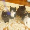 白黒とふわふわ黒子猫オスメス兄弟元気いっぱい!