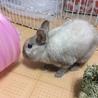 決定!【ウサギ】ネザー♂シナモンくん サムネイル4