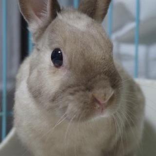 ご相談中【ウサギ】ネザー♂シナモンくん