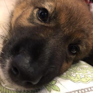 モフモフ系の女の子の子犬。生後3が月程度です