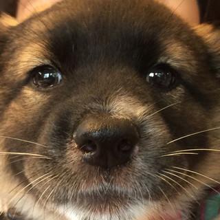 モフモフ系子犬の女の子、生後3か月程度です