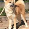 秋田犬の子犬 6ヵ月の男の子