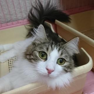 ノルウェージャンF☆ゆきみ☆女の子2歳