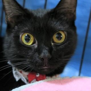 物静かな甘えん坊、黒猫のココちゃん