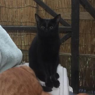 ツキを呼ぶ幸運の黒猫ちゃん6か月里親募集中!