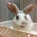 ルノくん:元気なミニウサギさん♂