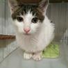 迷い猫の可愛い白キジ君です!