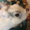 ルノくん:元気なミニウサギさん♂ サムネイル2