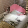 ルノくん:元気なミニウサギさん♂ サムネイル3