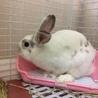 ルノくん:元気なミニウサギさん♂ サムネイル7